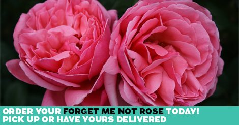 Forget Me Not Rose